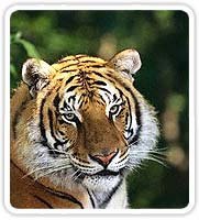 Tiger in Corbett National Park